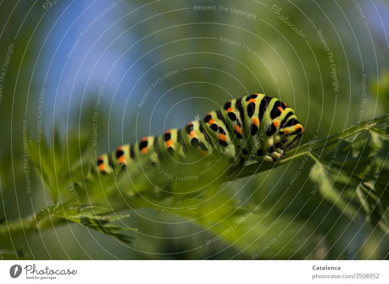 The caterpillar of a swallowtail crawls along a carrot leaf Insect Butterfly Caterpillar Swallowtail Plant flaked Carrot Vegetable Summer
