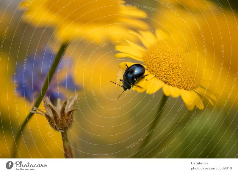 A blue leafcutter beetle crawls on the yellow meadow flower Beetle Insect Animal Plant fauna flora Summer Yellow Crawl petals bleed Glebionis segetum