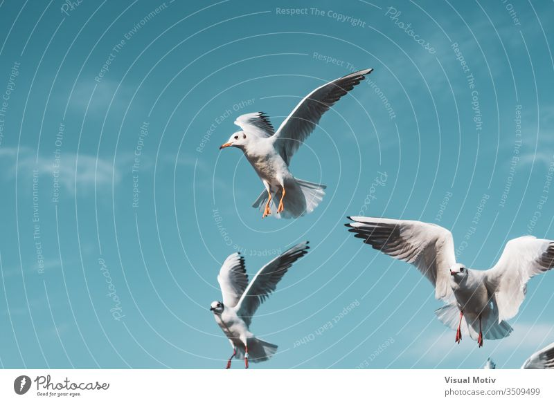 Small black-headed gulls flying action air animal animal themes animal wildlife animals in the wild background beak bird birds birds flying black headed gull