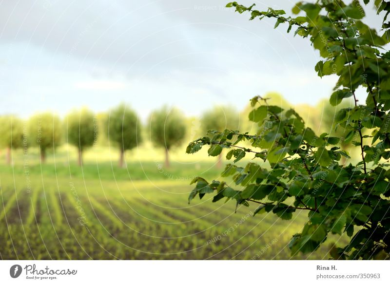 In rank and file Agriculture Forestry Environment Nature Landscape Sky Spring Summer Beautiful weather Tree Field Bright Green Country life Row Colour photo
