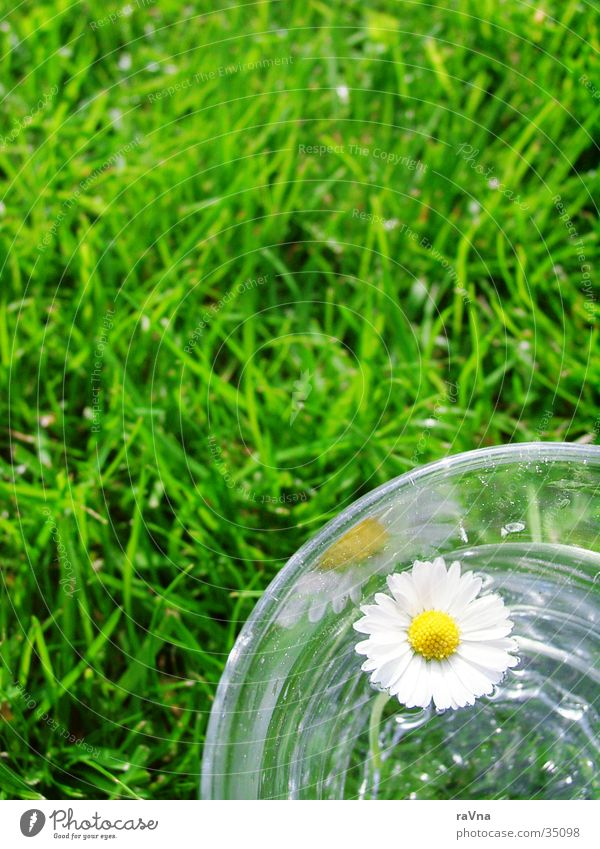 elixir of life Daisy Tumbler Grass Green Fresh Water Lawn Glass Nature Plant Float in the water