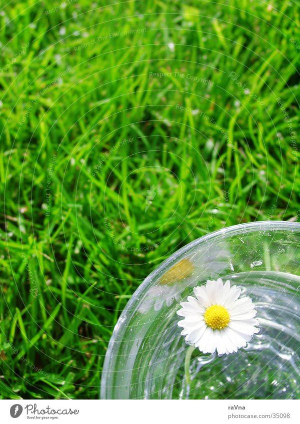 Nature Water Green Plant Grass Glass Fresh Lawn Daisy Tumbler