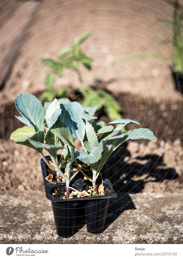 Junge Pflanzen in einem Gemüsegarten, Gartenarbeit, Nahaufnahme jung Erde gärtnern gartenarbeit grün wachsen Plant Fresh Organic produce Healthy Natural