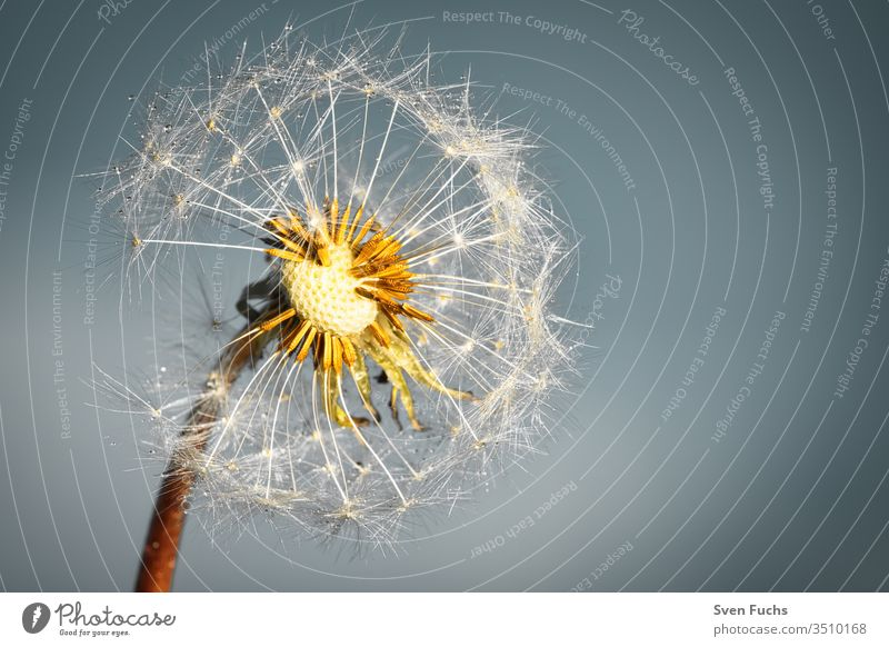 A dandelion with drops of water against a blue-grey background lowen tooth Drops of water Easy Airy Floating Summer Wind Growth change Freedom Plant flowers