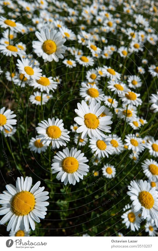 Small field of Chamomile flowers in full bloom on a grassy field in early summer camomile chamomile daisy green purity blooming refreshing aroma rustic daisies