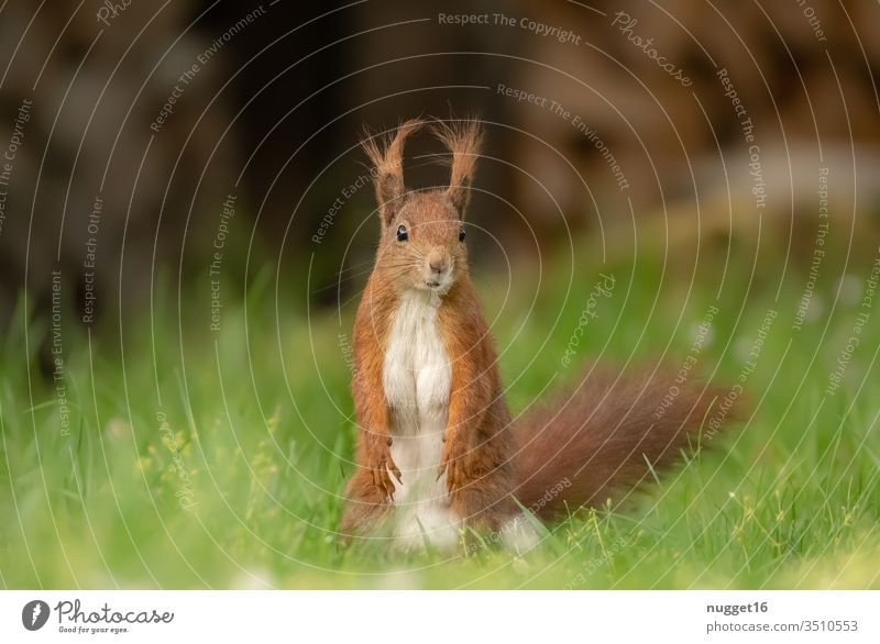 Squirrel sitting in the grass Animal Colour photo Nature Exterior shot Wild animal Deserted Day Animal portrait Environment Shallow depth of field Brown Cute