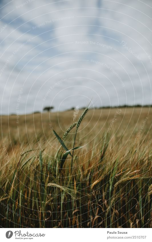 Ear of wheat isolated on field Wheat Field Grain Nature Summer Harvest Grain field Landscape Colour photo Agricultural crop Exterior shot Agriculture Plant