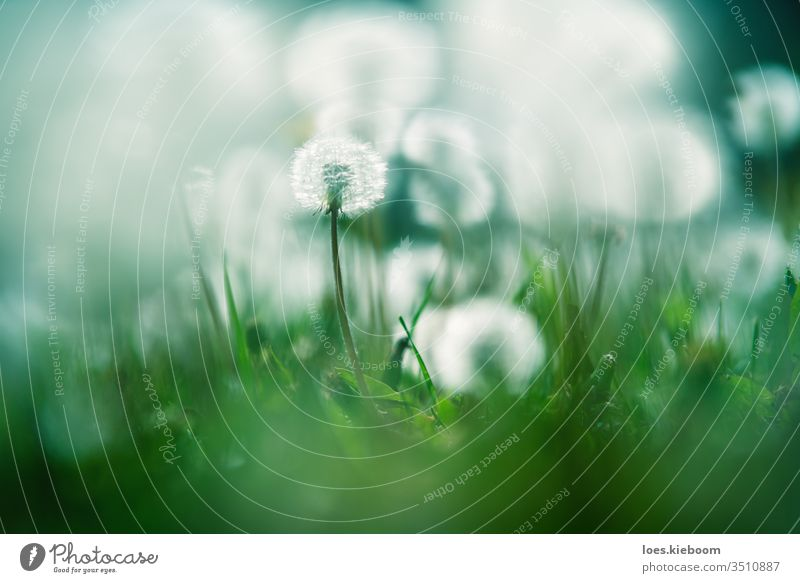 Close up of garden with one focused and blurry dandelions lightened by sun blossom flora flower nature plant season childhood summer beautiful meadow spring