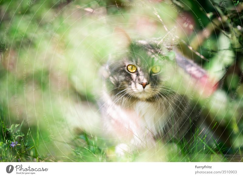 Cat hides in the bush and looks into the camera pets purebred cat Longhaired cat Maine Coon White blue blotched feline Fluffy Pelt Outdoors Nature Botany plants