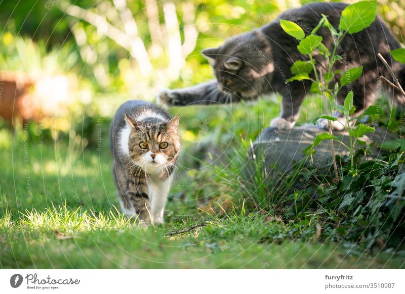 playful cats in the garden Cat pets purebred cat Longhaired cat Maine Coon British Shorthair tabby White blue blotched feline Fluffy Pelt Outdoors Nature Botany