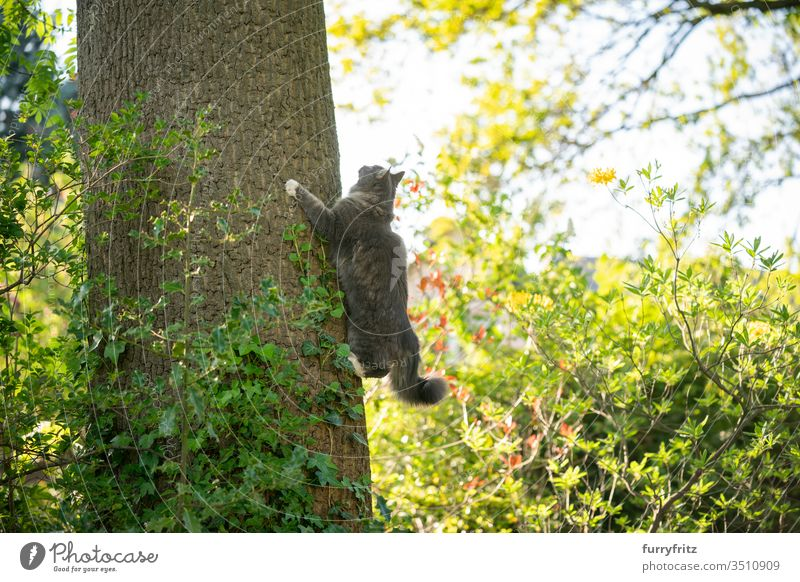 maine coon cat climbs up a high tree in the garden and looks up Cat pets purebred cat Longhaired cat Maine Coon White blue blotched feline Fluffy Pelt Outdoors