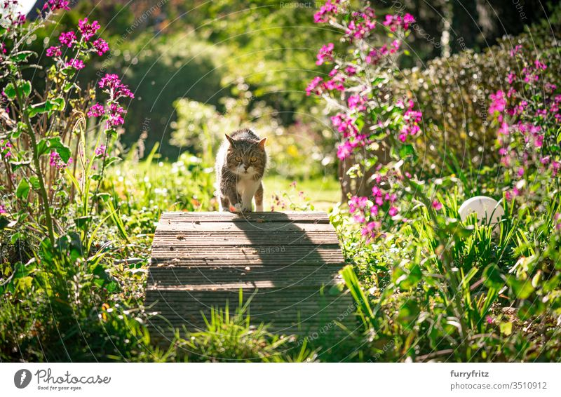 Cat walking across a small wooden bridge of a pond in a beautiful garden with flowers and plants on a sunny day pets purebred cat British Shorthair tabby White