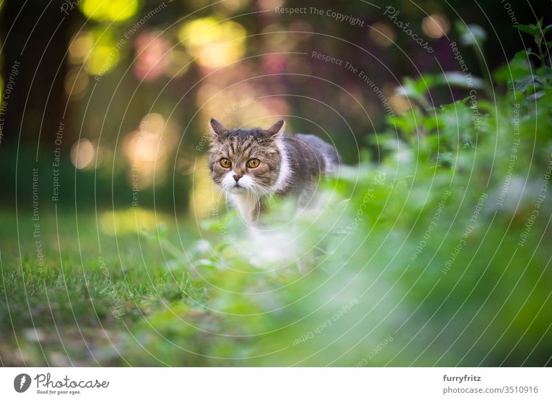 British shorthair cat outdoors walking in the garden Cat pets purebred cat British Shorthair tabby White Outdoors Nature Botany plants green Lawn Meadow Grass