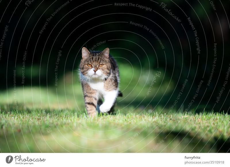 British shorthair cat in the garden running towards camera in sunlight Cat pets purebred cat British Shorthair tabby White Outdoors Nature green Lawn Meadow