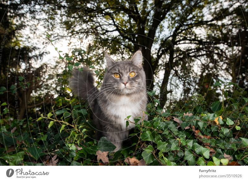 Maine Coon cat in nature Cat pets purebred cat Longhaired cat White blue blotched feline Fluffy Pelt Outdoors Nature Botany plants green look into the camera