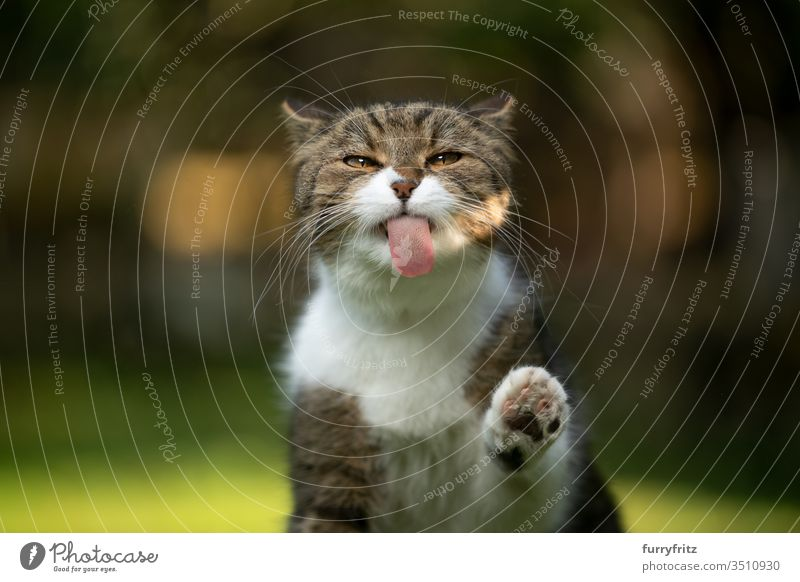 funny portrait of a British shorthair cat licking an invisible pane Cat pets purebred cat British Shorthair tabby White Outdoors Nature green