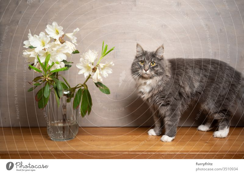Maine Coon cat next to a white flower in vase Cat pets purebred cat Longhaired cat White blue blotched feline Fluffy Pelt indoors Rhododendrom Vase flowers