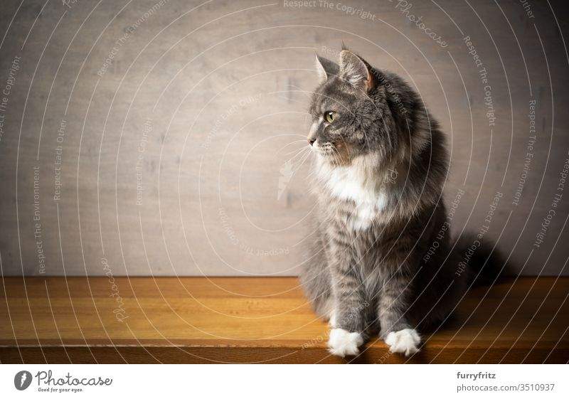 Portrait of a Maine Coon cat on a wooden surface against a grey wooden background Cat pets purebred cat Longhaired cat White blue blotched feline Fluffy Pelt