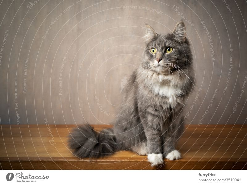 Portrait of a Maine Coon cat sitting on a wooden table against a grey background Cat pets purebred cat Longhaired cat White blue blotched feline Fluffy Pelt