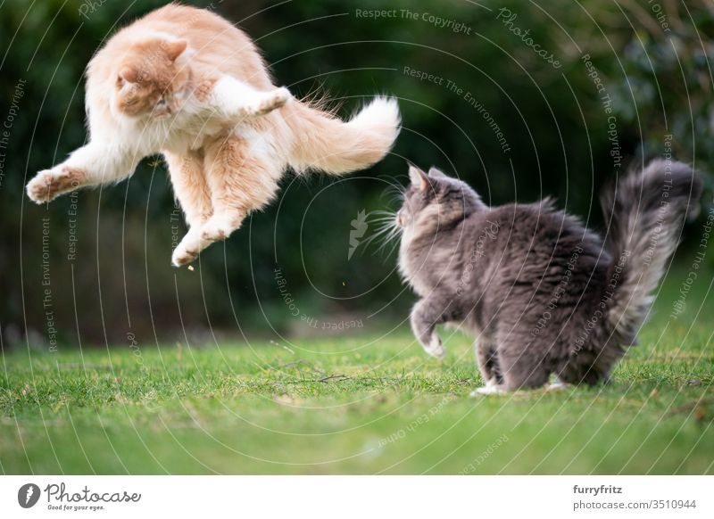 funny playful cats jumping in the garden Cat pets purebred cat Longhaired cat Maine Coon White blue blotched cream tabby Fawn Beige Ginger cat feline Fluffy