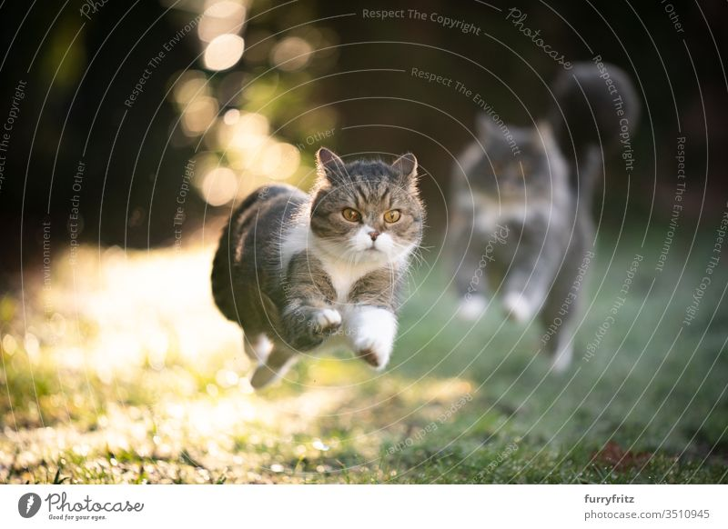 Cats run through the sunny garden and chase each other pets purebred cat Longhaired cat Maine Coon British Shorthair tabby White blue blotched feline Fluffy