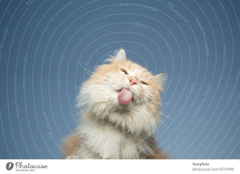 Soffit Of A Maine Coon Cat Licking Invisible Pane In Front Of Blue Sky A Royalty Free Stock Photo From Photocase