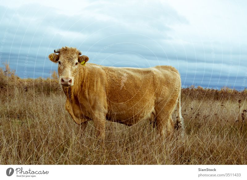 Lonely cow a field on delta of river Evros Greece angus cattle agriculture grass grazing blue pasture rural meadow lone sky nature lonely canterbury summer cows