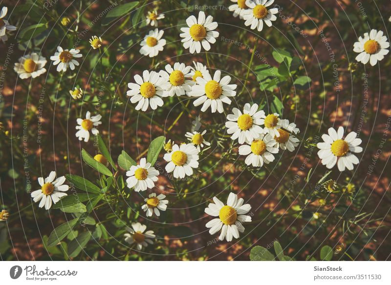 Daisies in the field daisy daisies white flower flowers background spring beautiful nature meadow chamomile green summer yellow plant sun beauty camomile