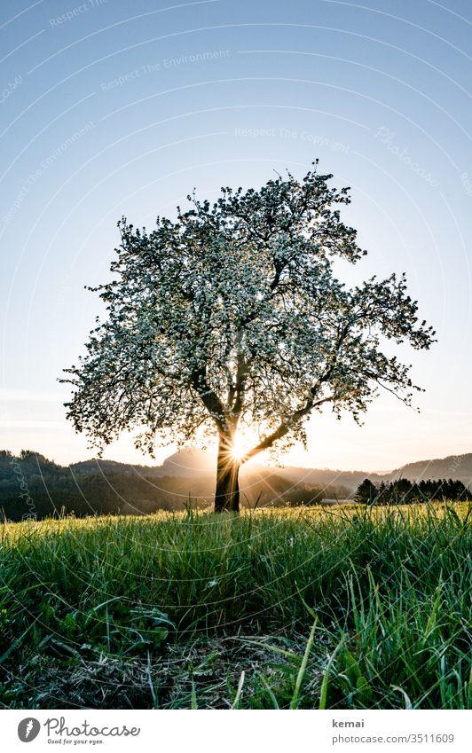 Pear tree in bloom against the sunrise Fruit trees spring blossom bleed Sun Back-light Sunrise solar star warm Bright Blue green Yellow hillock Sky clear Summer