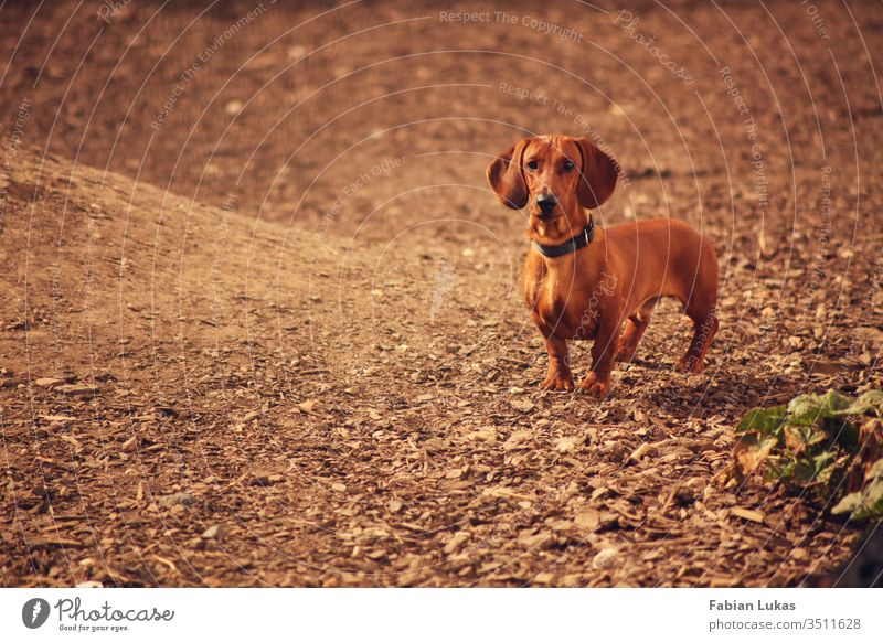 Brown short-haired dachshund Dog Dachshund Courtyard bark mulch Animal Love of animals Exterior shot Cute Animal face Colour photo