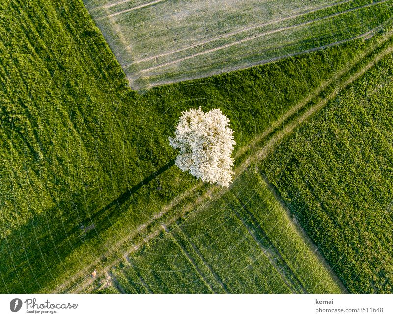 Pear tree on path from above with shadow Meadow acre Agriculture Field blossom spring Fruit trees fruit tree blossom bleed Apple tree Shadow shadow cast