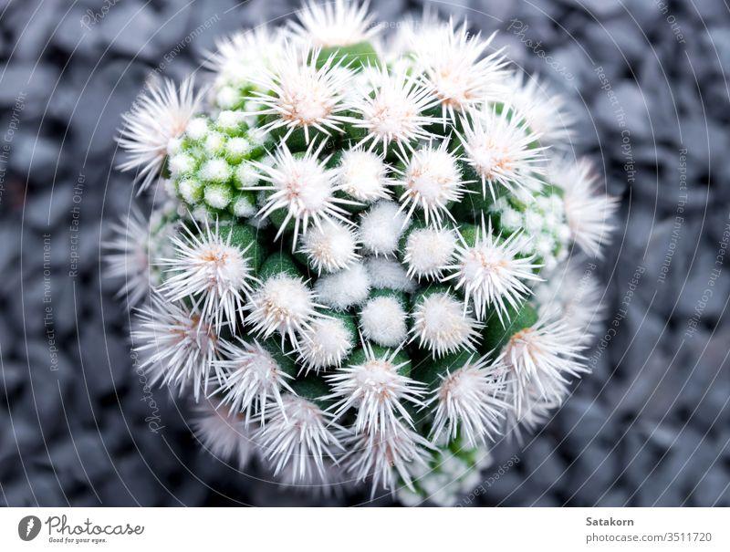 Cactus species Mammillaria vetula gracilis , Arizona Snowcap cactus succulent mammillaria nature green white plant pot arizona snowcap beautiful decoration