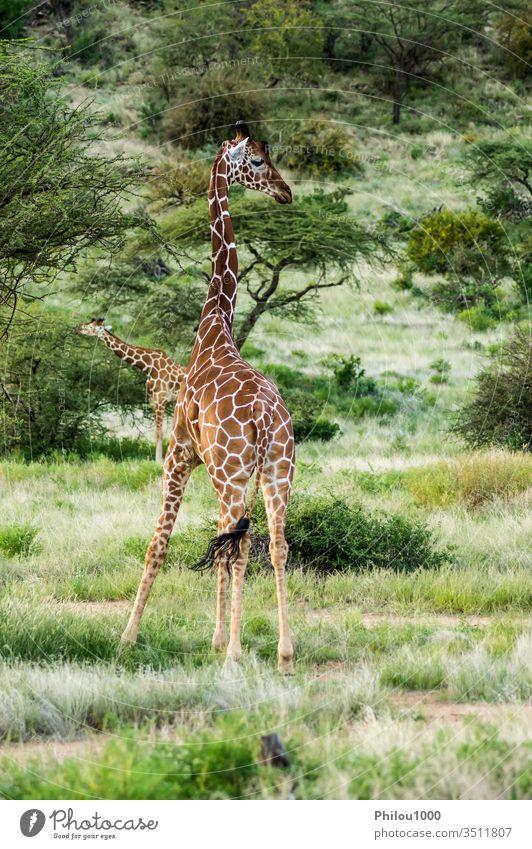 Giraffe crossing the trail in Samburu Park Africa Kenya african animal background beautiful brown close-up cute face giraffe green head herbivore isolated long