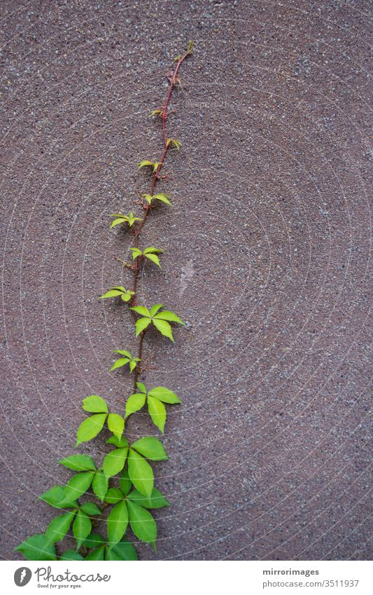 one viy vine growing up the side of a cement wall abstract autumn background beautiful branch color environment fall foliage garden green growth leaf natural