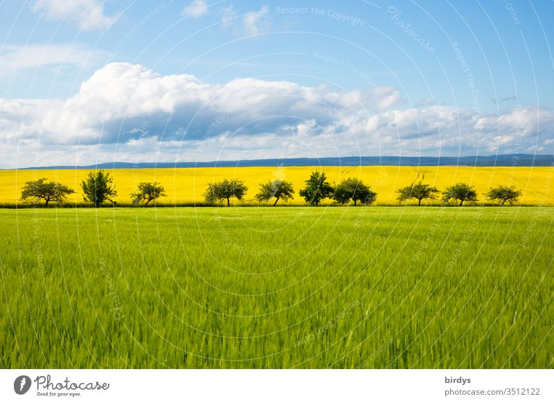 colourful agricultural landscape in May with green grain fields and yellow flowering rape fields behind a row of fruit trees. Horizon with blue sky and clouds