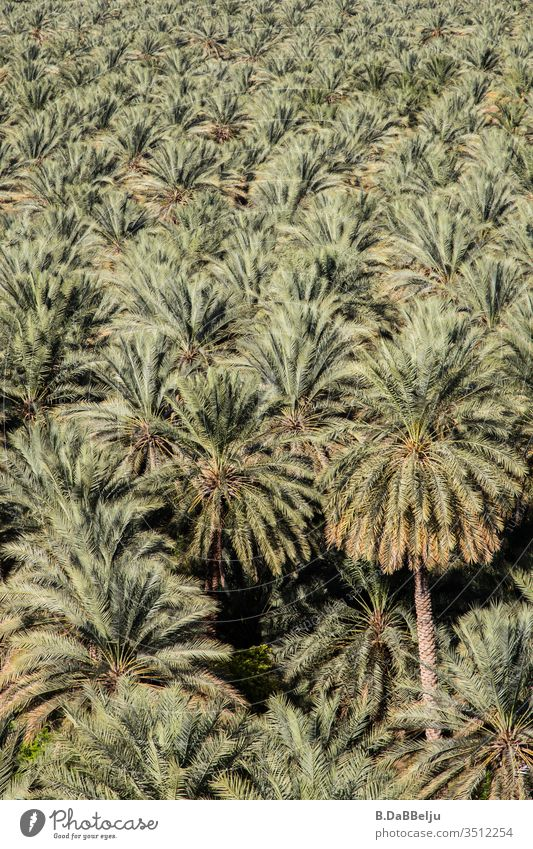 infinite palms Oman travel Date palm Vacation & Travel Exterior shot Day Deserted Nature green plants Oasis Palm tree Exotic Colour photo Palm frond Wanderlust
