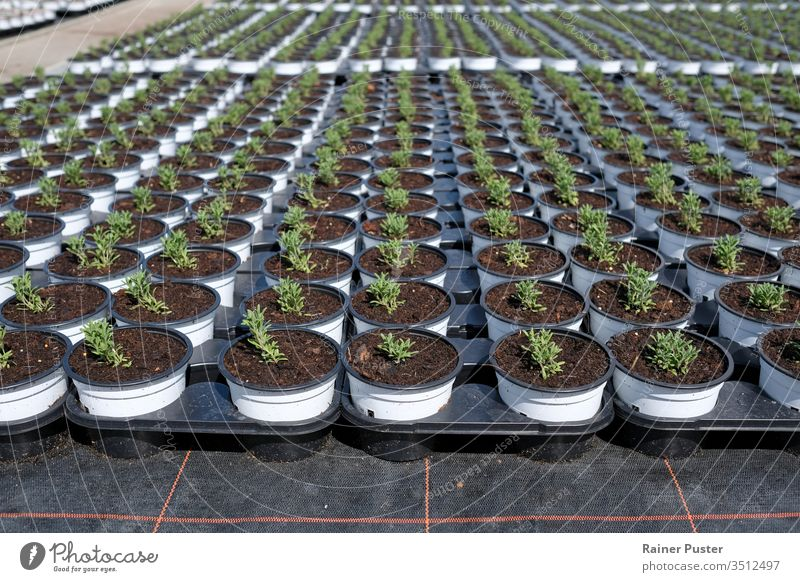 Rosemary being cultivated next on a plantation agricultural agriculture field food greenhouse growth herb herbal organic plantation field plantation rosemary