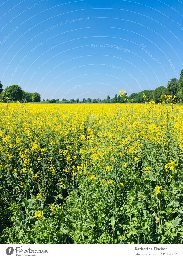 Rape field in May Canola Canola field Oilseed rape cultivation Environment Field Colour photo Exterior shot Landscape Plant Yellow Day Nature spring Blossoming