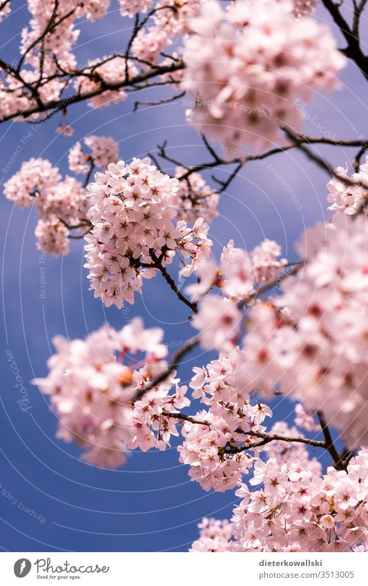 Cherry blossoms in spring Pink bleed Cherry tree Branch Blossoming Nature Twig Blue Sky Colour photo Exterior shot already Plant Park Beautiful weather Deserted