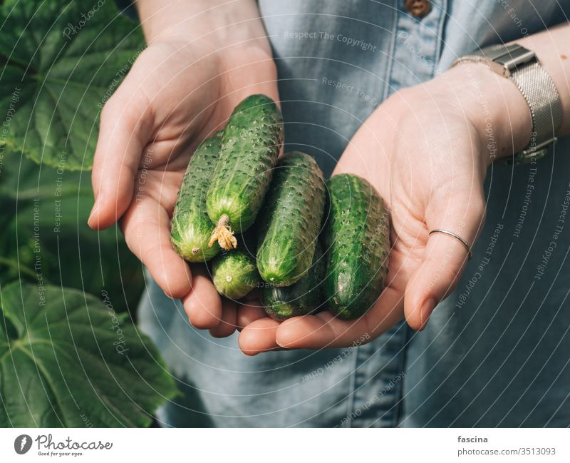 Cucucmbers in female hands, outdoors cucumbers hold natural garden vegetable organic fresh unrecognizable young hipster woman denim shirt daylight agriculture