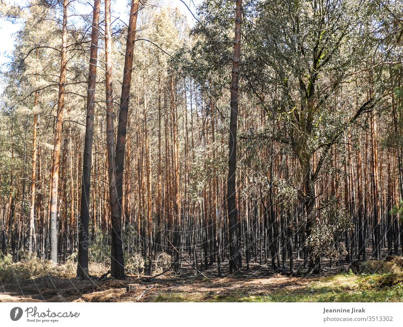 After the forest fire Forest fire Environmental damage aridity Colour photo Nature Fire Blaze charred