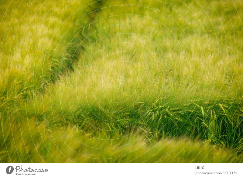Maturing grain field - A maturing grain field swaying in the wind. Cornfield Grain field Tire Field acre Agriculture Wind Weigh country Country life Environment