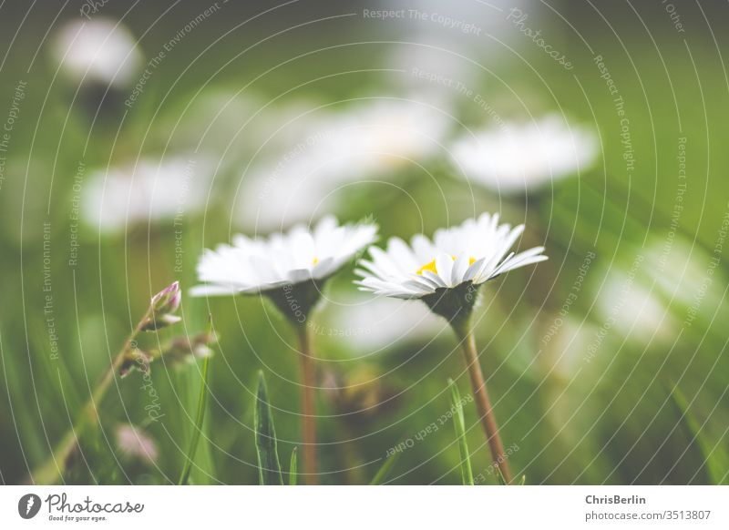 white daisies in the meadow Daisy White Meadow spring green Nature flowers Grass bleed Close-up Meadow flower Exterior shot Colour photo Blossoming