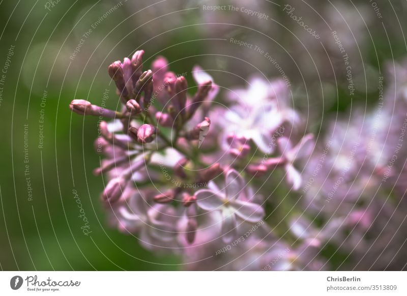 lilac lilac blossom bleed flowers Plant May purple Nature shrub spring Close-up Colour photo Garden Exterior shot Blossoming Violet Shallow depth of field Blur