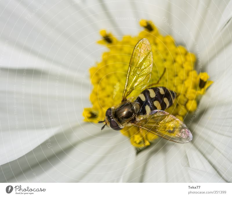 suspended deception Environment Nature Plant Animal Flower Garden Wild animal Fly 1 Esthetic hoverfly Colour photo Exterior shot Detail Macro (Extreme close-up)
