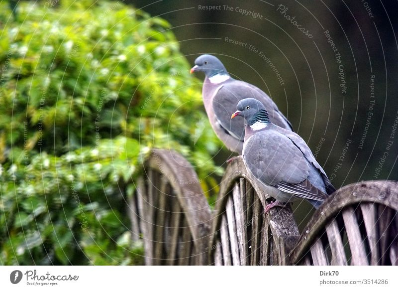 Pair of wood pigeons on the garden fence Pigeon songbird birds pair of birds Pair of animals Couple In pairs 2 animals two togetherness couple Fence
