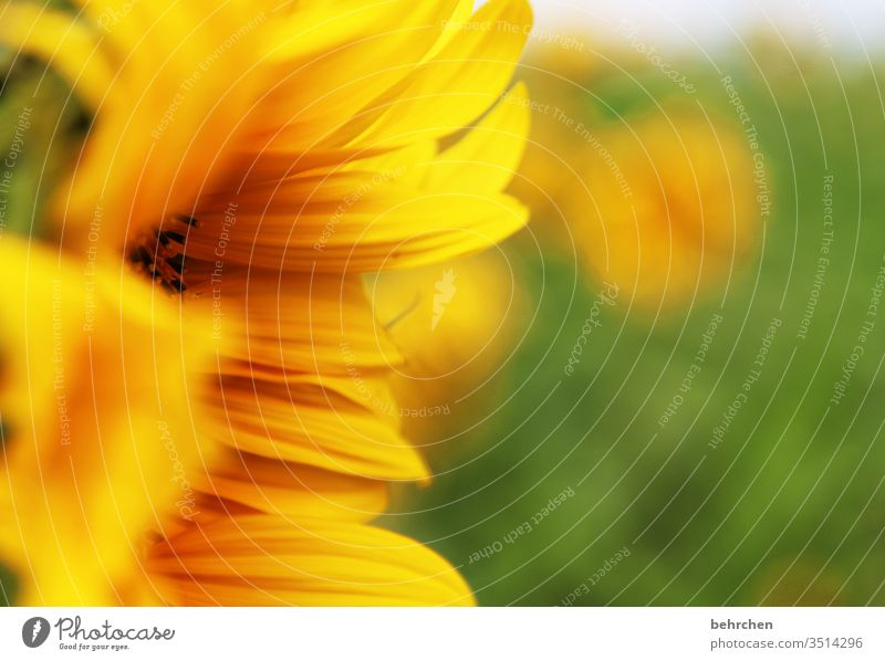 sunshine Blur Contrast Light Day Deserted Detail Close-up Exterior shot Colour photo Hope Beautiful weather Sunflower field Illuminate Summery already Yellow
