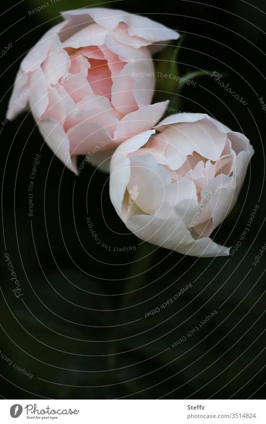 two fine roses rose petals Rose scent Noble flowering roses Poetic Elegant romantic elegance Romance especially Fragrance Blossom Garden rose Flower fragrant