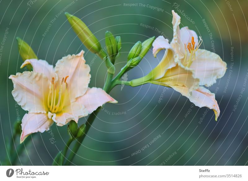 flowering lilies Lily Lily blossom bleed flowers Blossoming garden flowers natural already Garden plants green Summery daylight Shallow depth of field Noble