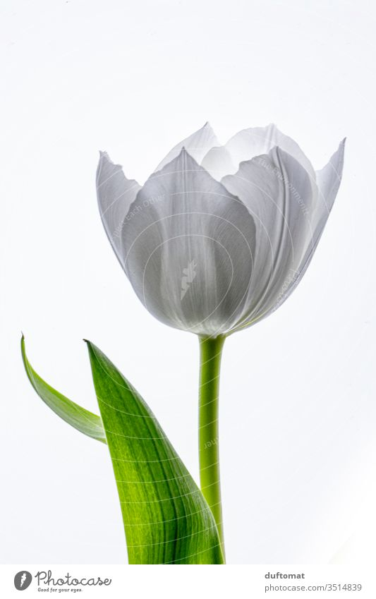 Single tender white tulip Tulip tulipa tulips Tulip blossom flowers Balcony Plant Macro (Extreme close-up) bleed Blossoming Romance Flowering plant cut flower